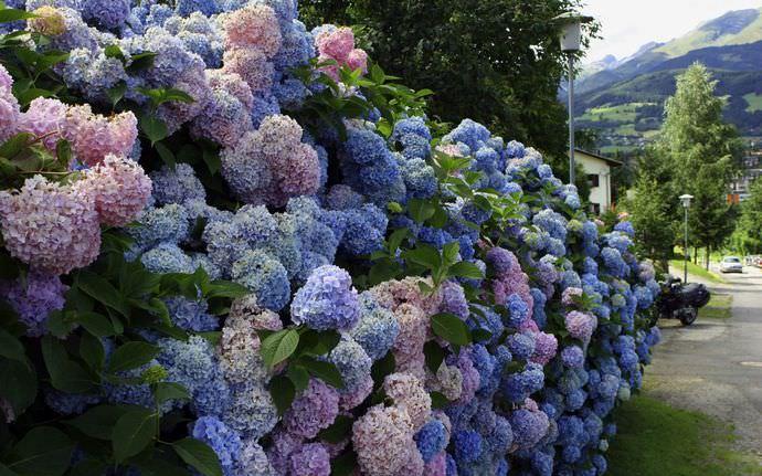 Рекомендовано использовать для изгородей декоративно-цветущие растения, ведь они украшают стену продолжительное время